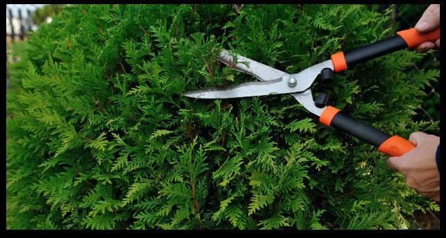 shrub-trimming